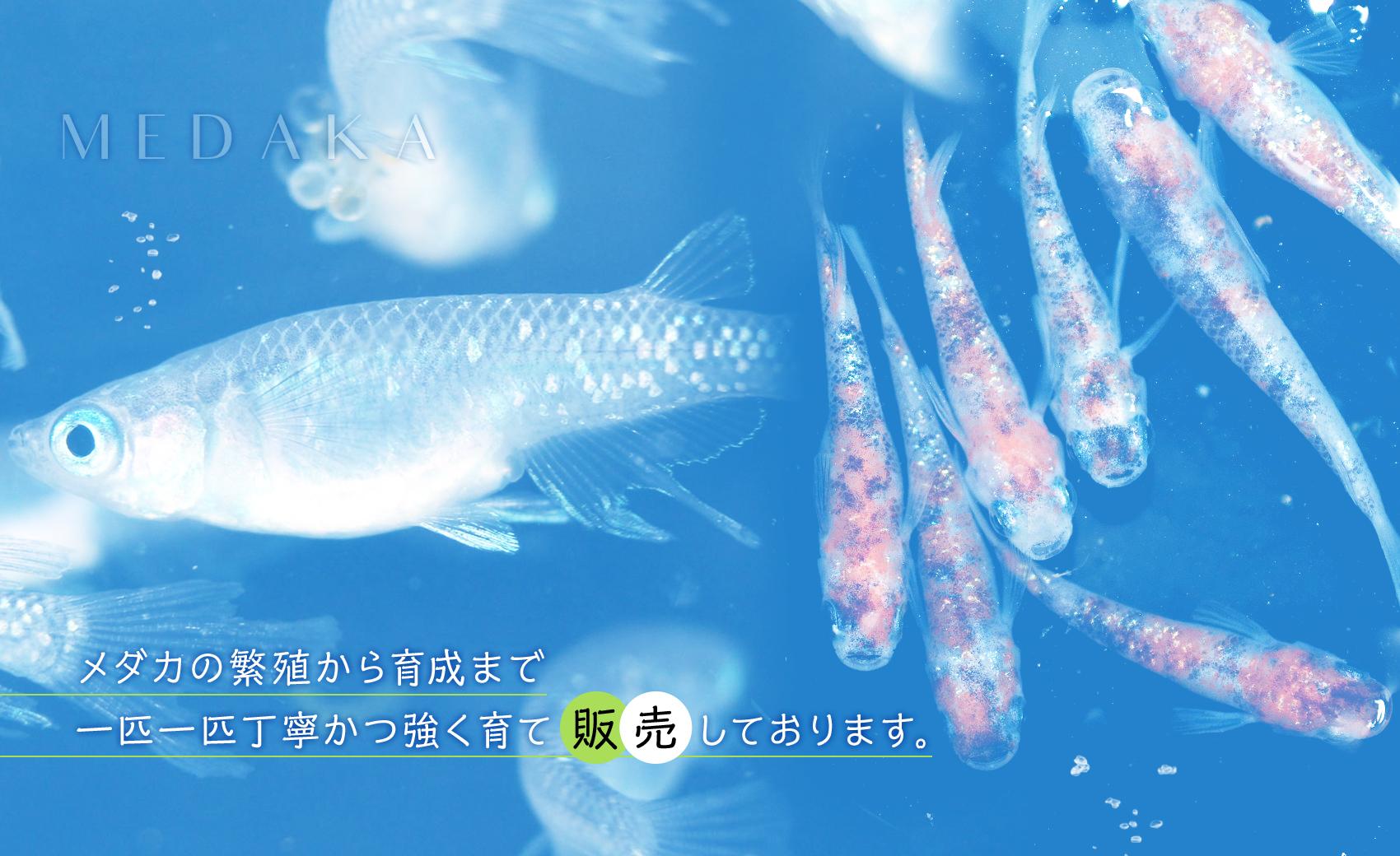 メダカの繁殖から育成まで一匹一匹丁寧かつ強く育て販売しております。